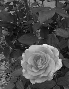 b&W photo of roses